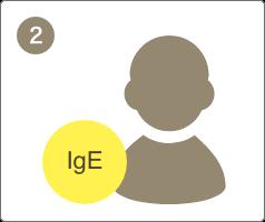 体が花粉やダニを異物として認識し、アレルゲンを排除するための物質(IgE抗体)が作られ、新しいアレルゲンが入った時に備えます。